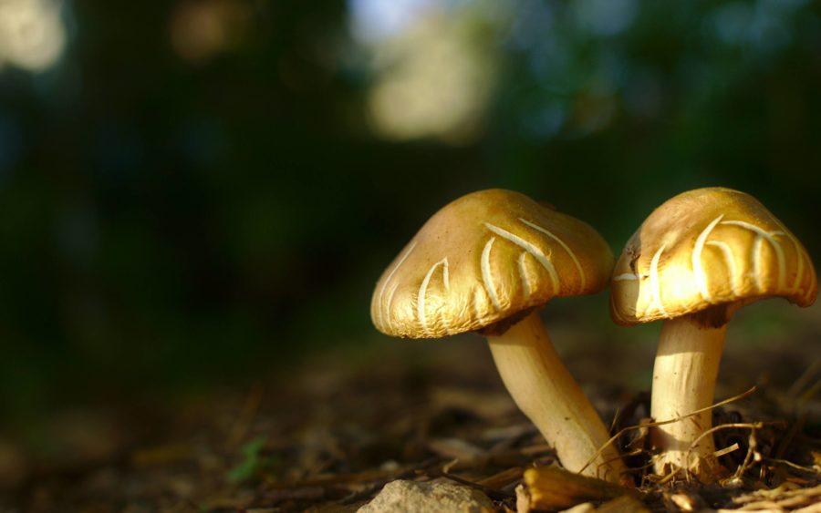Mushrooms in someone's backyard that look like mine